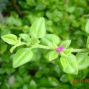 Hitrorastoča rastlina odporna na sušo
