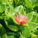 Hitrorastoča cvetoča rastlina, ne prezimi na prostem