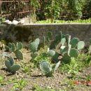 Kaktusi za menjavo, prva vrsta še neukoreninjena , ostali dve ukoreninjeni