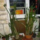 kaktus velik