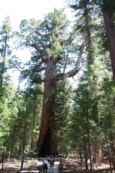 Mariposa Grove - Grizzly Giant