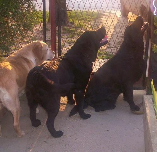 Labradori - foto