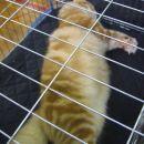 Imitacija Garfielda. Res gromozanski muc.