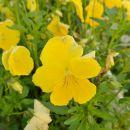 Rumeni cvetovi