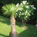 Naša dvometrska palma! Zadaj bela grmičasta vrtnica!