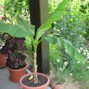 Edina banana, ki nam jo je uspelo obdržati!Čisto majcena :)