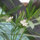 Oleandri začenjajo cveteti! :) :)