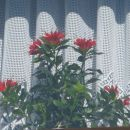 Ta rožica pa zlo obožuje sonce.