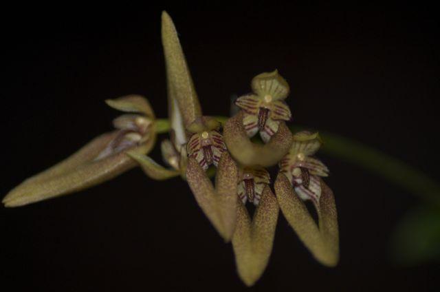 Bulbophyllum ?