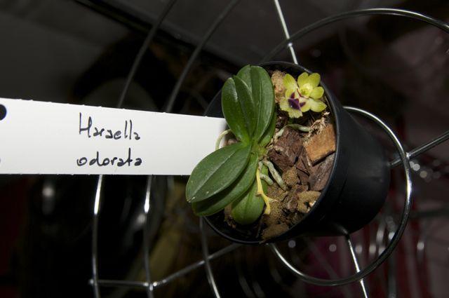 Haraella odorata se samo z 1 cvetkom, drugega sem jaz predcasno zrihtala