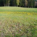Hektarji cvetočega regrata.