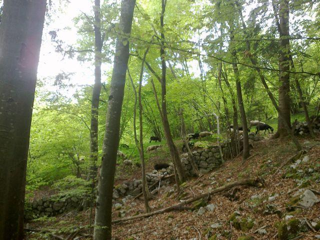 Ovčke se pasejo :)
