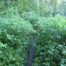 V gozdu, divji nasad malin.