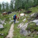 Krave in moške krave - biki.