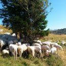 Tudi ovčkam je vroče :)