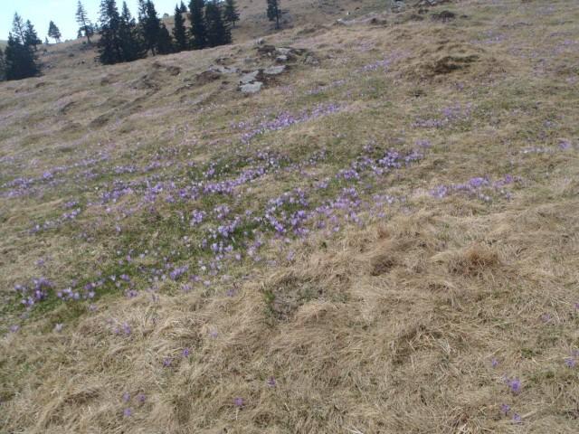 201770413 Velika planina v cvetju - foto
