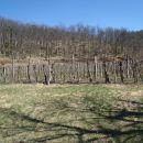 Na veliki oazi v gozdu vinograd.