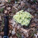Šopek trobentic, Primula vulgaris.