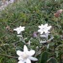 Rastejo v strmi gori, bele........