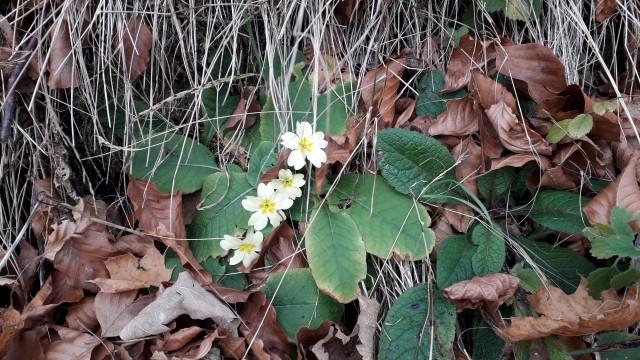 Nori svet, novembra cvetejo trobentice.