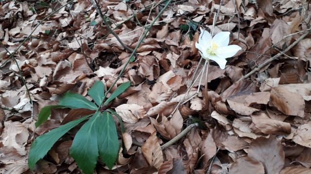 Trobentice in teloh, med prvimi naznanilci pomladi.