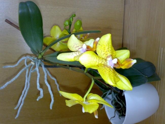 Phalaenopsis sp. s keikijem