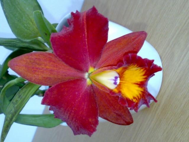 Brassolaeliocattleya sp.