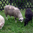 mini koze/ovce