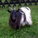 naša mini dolgodlaka koza
