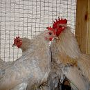 družina pritlikavih kokoši