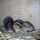 progasta veverica