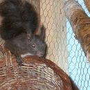 veverica (samček)