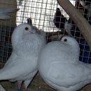 amstrdamski golšar (bela)