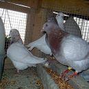 golobi texan
