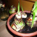 Čebulice ki že poganjajo. 7,1,2008