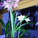 dve velikosti različnih cvetov 17,2,2008