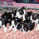 boston terrier-brin