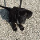 Igriva psička, mešanka z zlatim prinašalcem, stara približno 3 mesece, išče svojega lastni