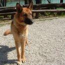Nemška ovčarka, najdena 14.04.2006 v kraju Zbilje pri Medvodah, išče svojega lastnika. V o
