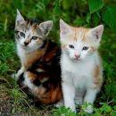 Prijaznim in odgovornim ljudem oddamo mucke obeh spolov,  belo-oranžne in oranžno tigrast